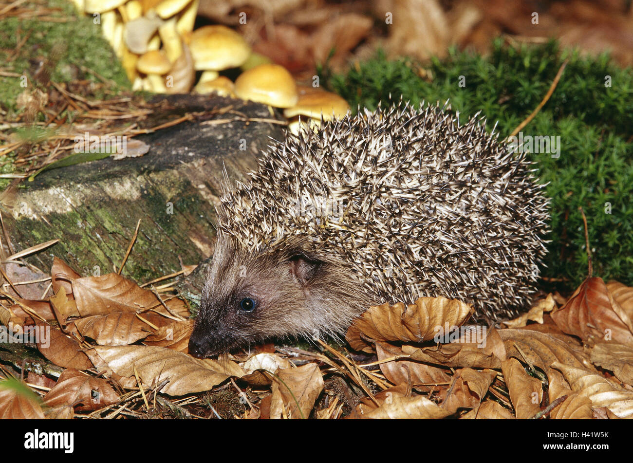 Forest floor, European hedgehog, young animal, Erinaceus europaeus, lining search animals, animal, mammals, mammal, - Stock Image