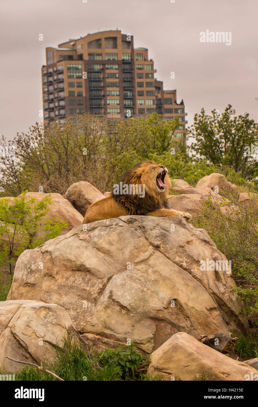 A Lion's Roar Close To The City - Stock Image