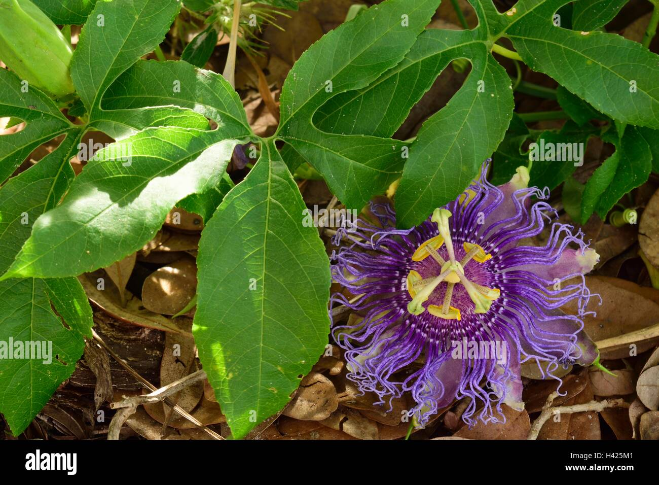Gorgeous open Passiflora incarnata or Purple Passion Flower commonly known as maypop, in a botanical garden in Florida. - Stock Image