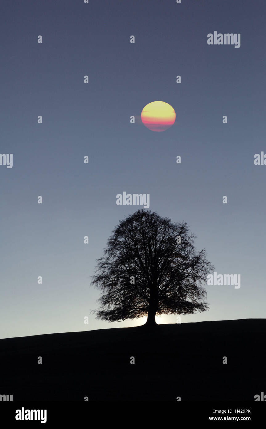 Copper beech, Fagus sylvatica, individually, moon, evening mood, [M], Germany, South Germany, Allgäu, Bavaria, solitaire Stock Photo