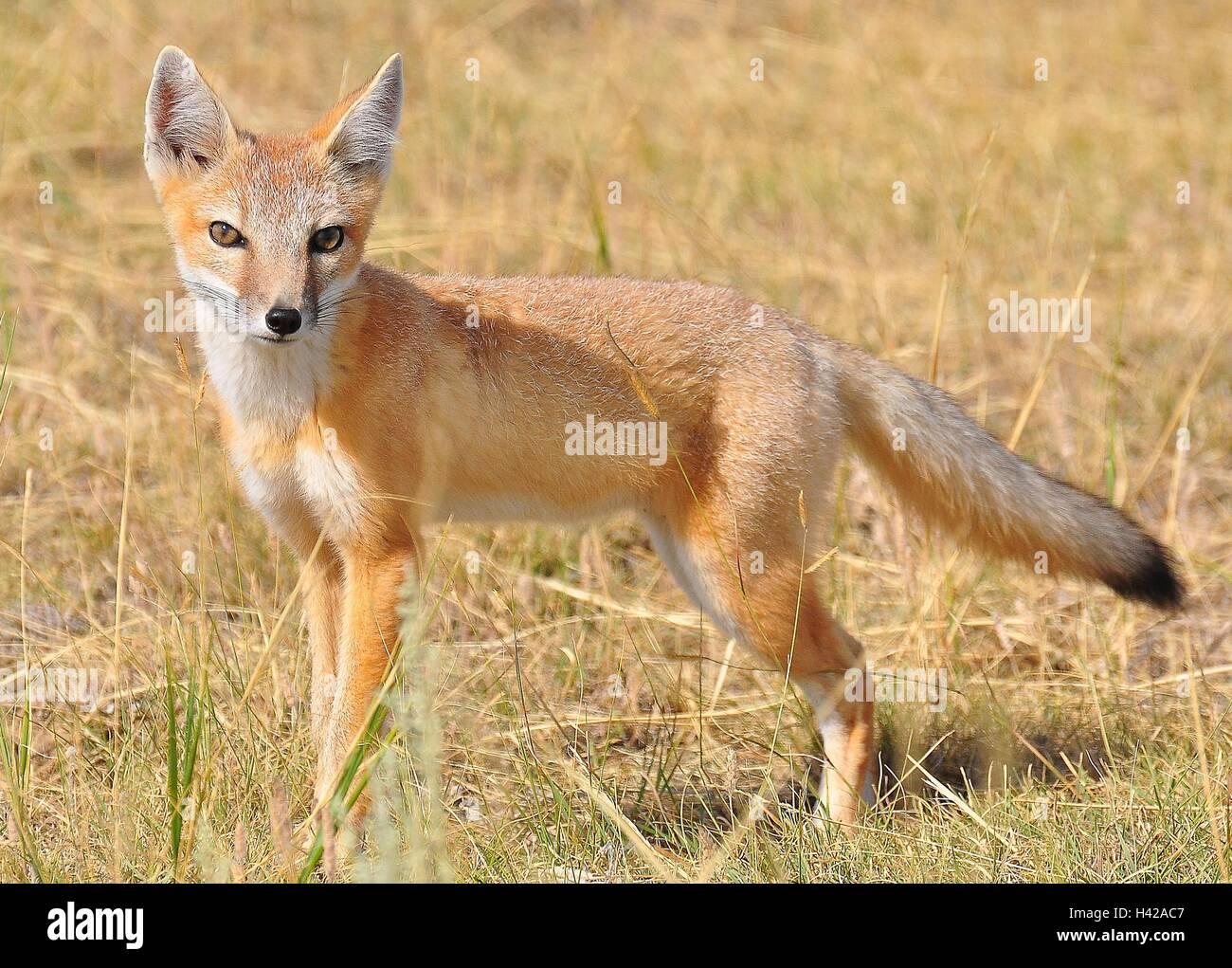 A Lone Swift Fox In Short Grass Prairie In The Craters Of The Moon