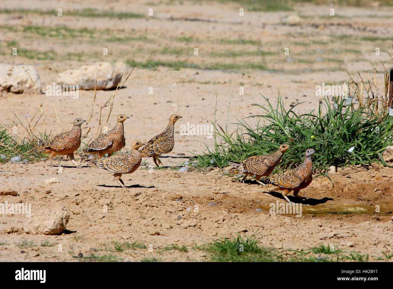Blotch flight chicken, Burchell `see Sandgrouse, - Stock Image