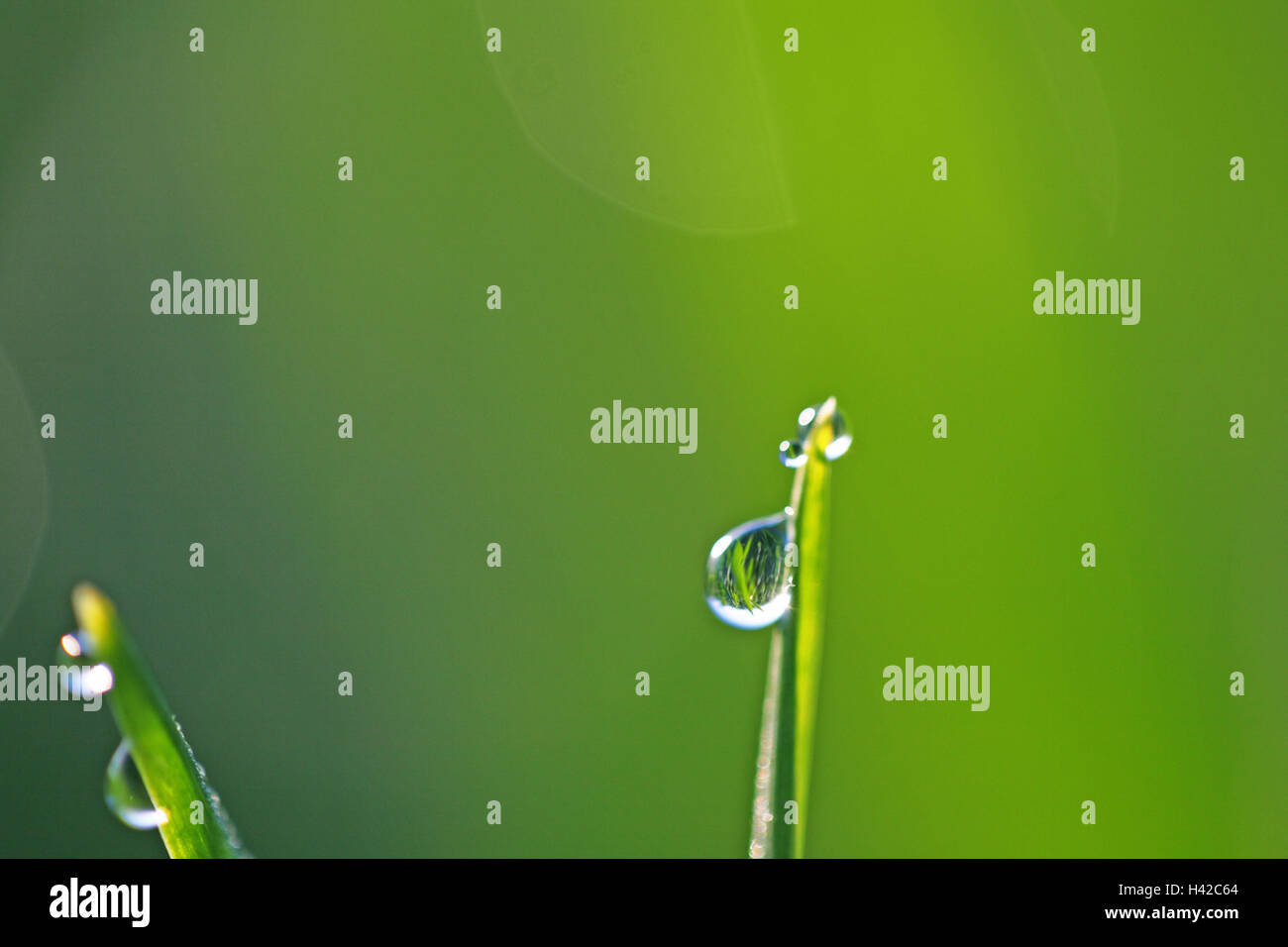 Blades of grass, dewdrops, close up, - Stock Image