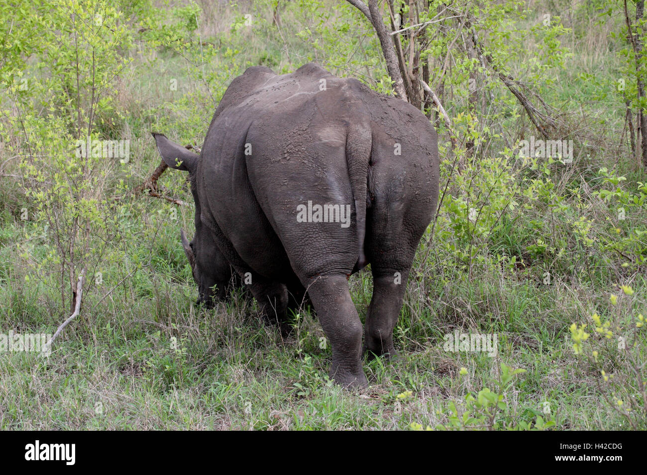 Wide mouth rhinoceros, Square-lipped Rhinoceros, - Stock Image