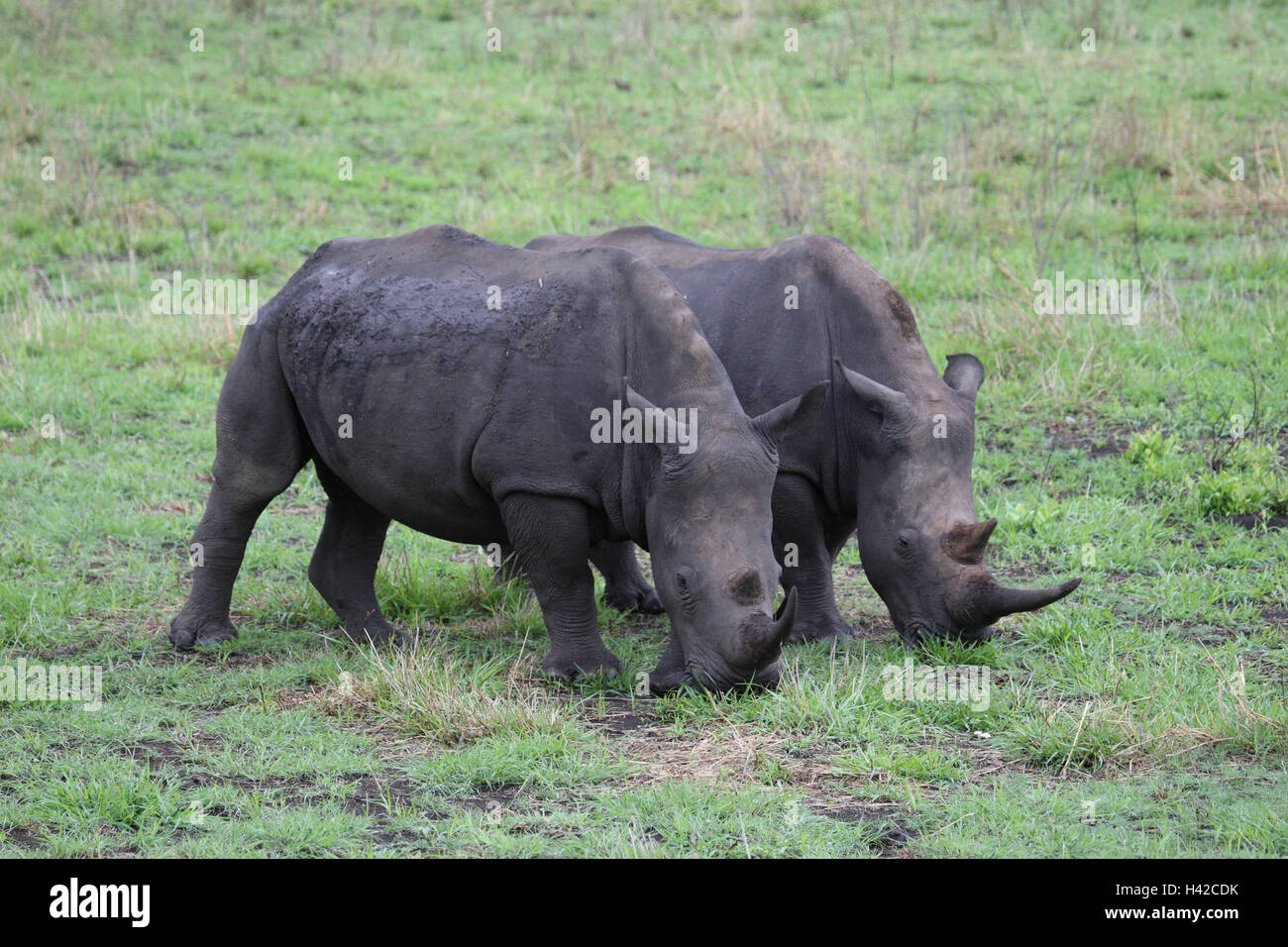 Wide mouth rhinoceroses, Square-lipped Rhinoceros, two, eat, - Stock Image