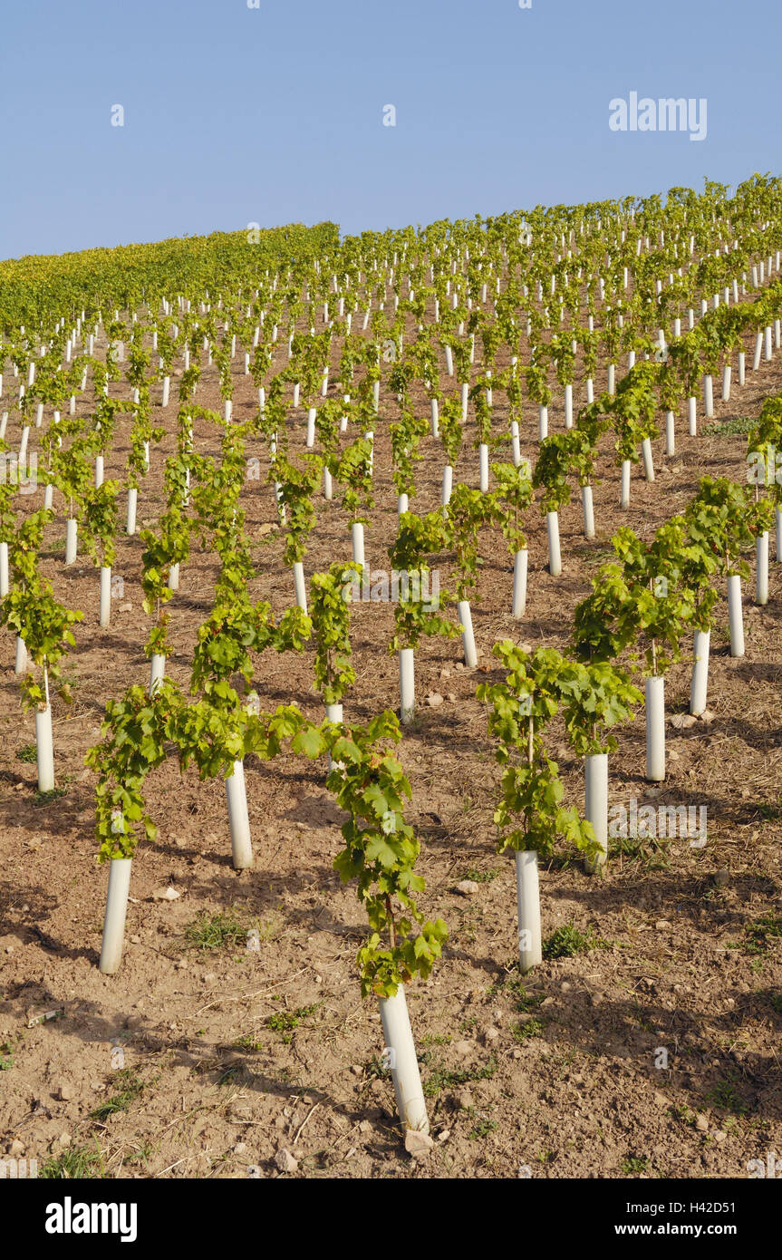 Wine-growing, vines, seedlings, protective coverings, Germany, Baden-Wurttemberg, vineyard, plants, small, young, Stock Photo