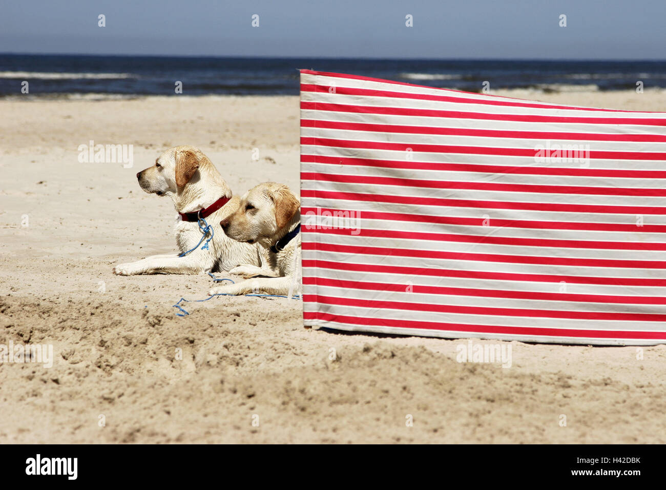 Beach, dogs, Retriever, lies, windbreak, red-know-striped, animals, two, pets, religiously, obedience, allows, dog - Stock Image