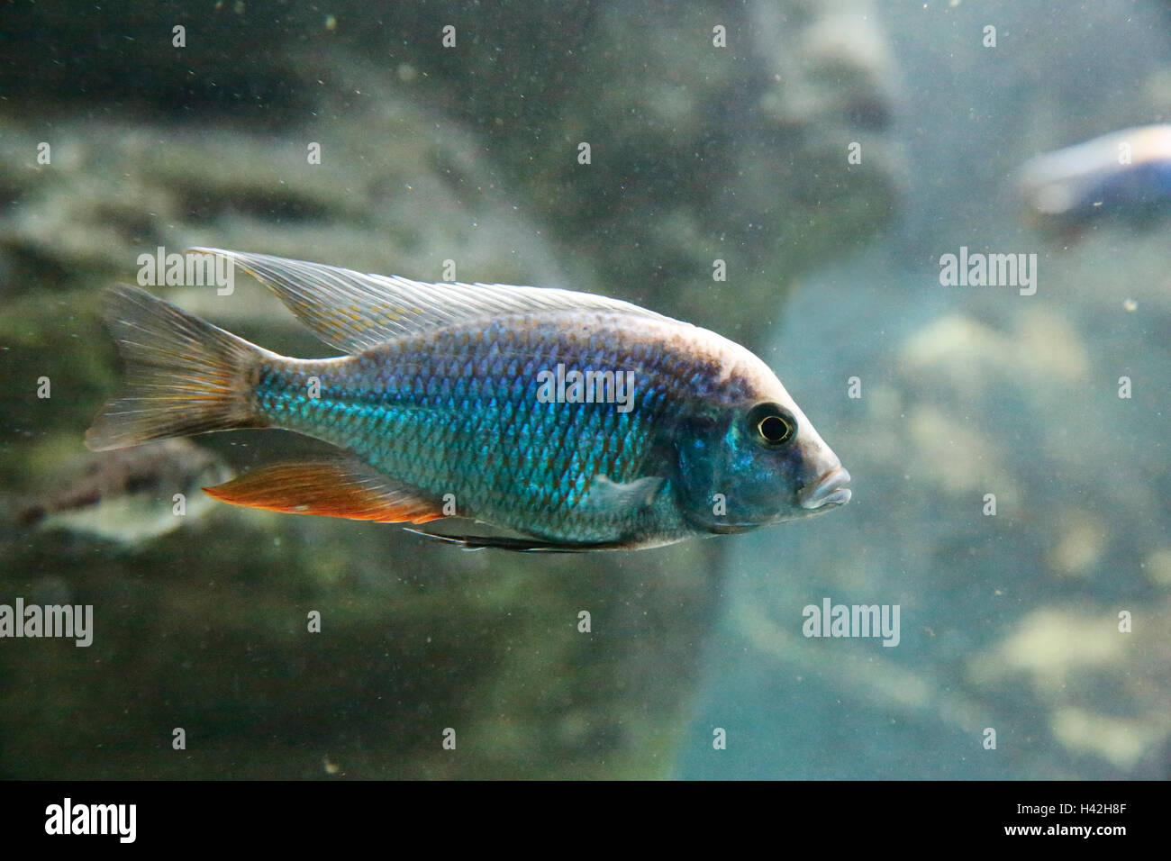 Spindle Hap Cichlid, Lake Malawi, Africa - Stock Image