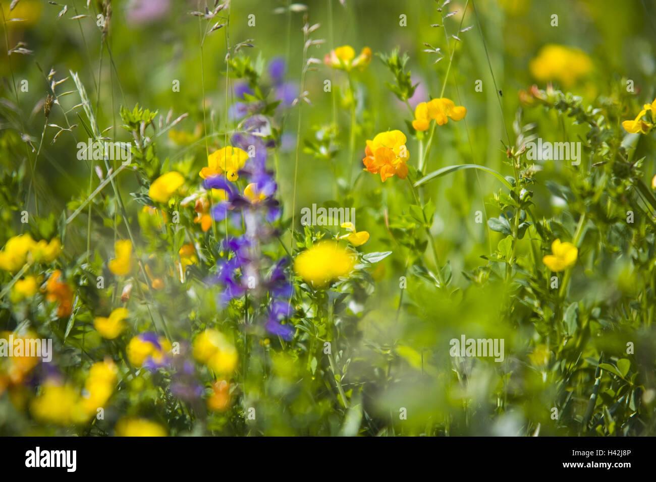 Flower meadow, Stock Photo