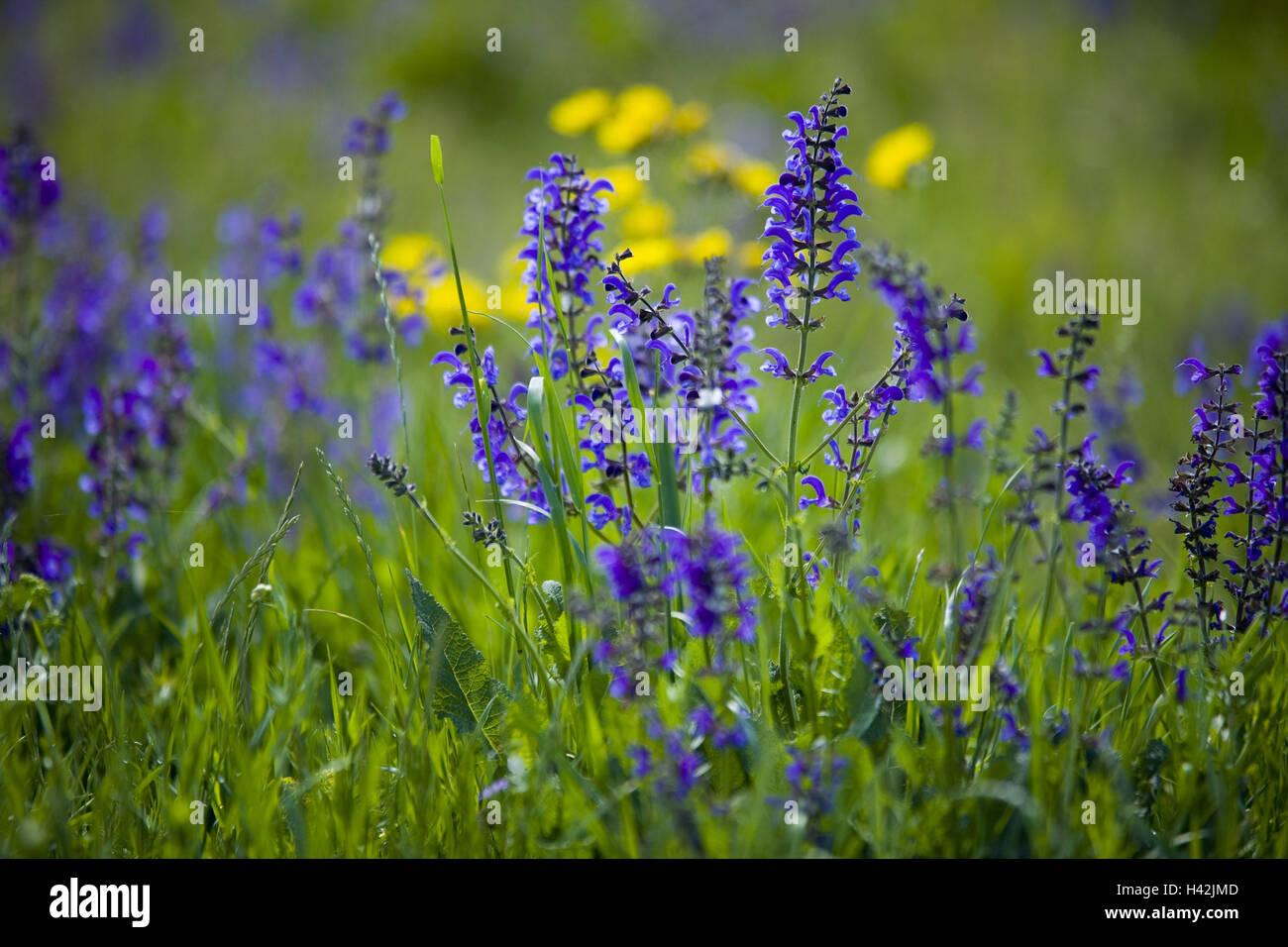 Flower meadow, meadow sage, Stock Photo