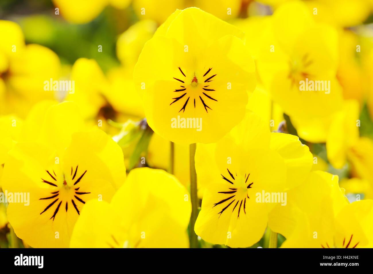 Garden pansies, viola wittrockiana, blossom, yellow shine, medium close-up, flowers, garden pansies, violet plants, - Stock Image