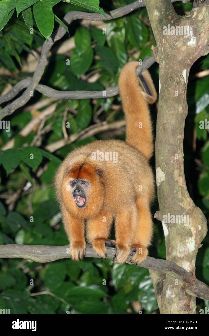 Black howling monkey, - Stock Image