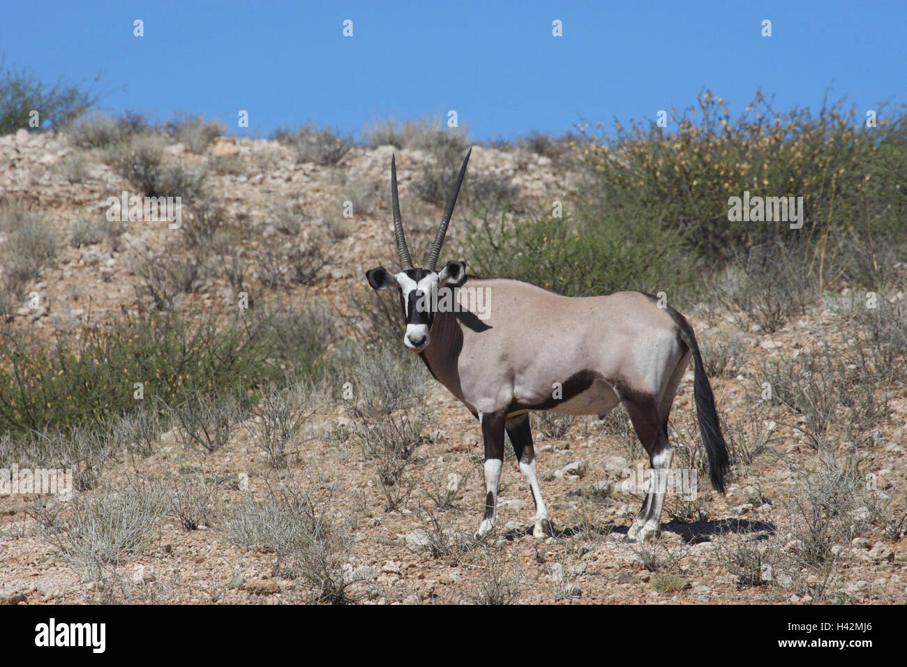 Spit vaulting horse, Oryx, - Stock Image
