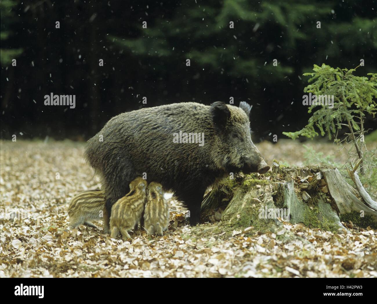 Wild boars, Sus scrofa, female, young wild boars, nurse, - Stock Image