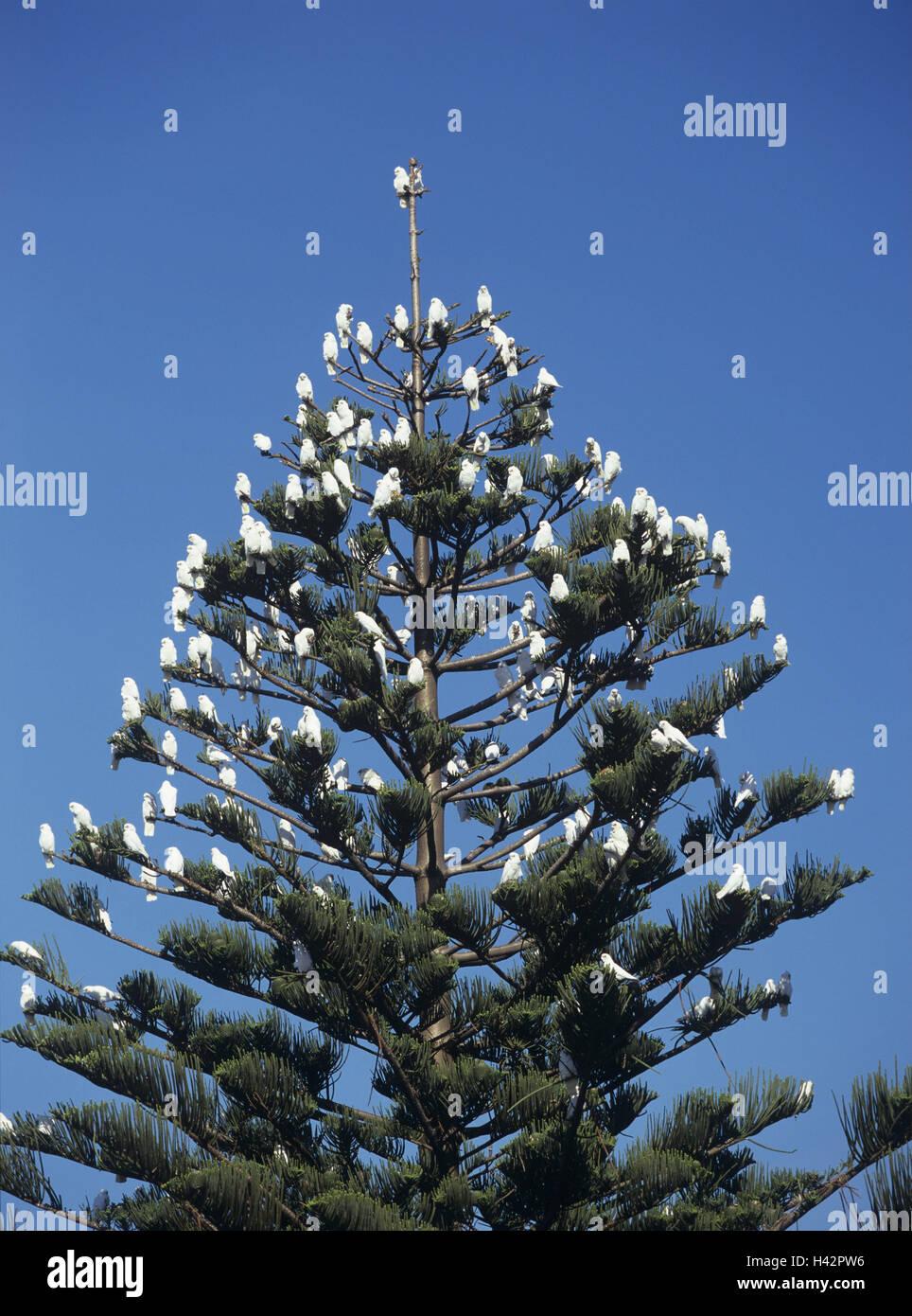 Australia, conifer, bare-eyed cockatoo, Cacatua sanguinea, from below, - Stock Image