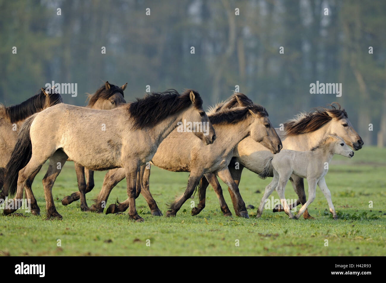 Dülmener wild horses, cookers, mares, foals, Germany, North Rhine-Westphalia, place of interest, natural monument, - Stock Image