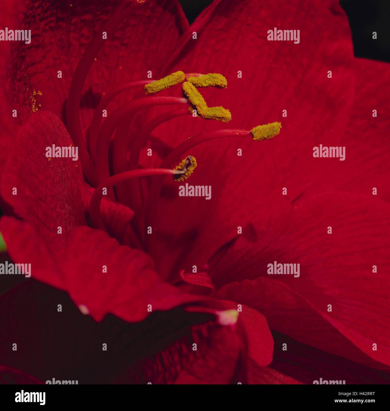 Amaryllis, dust vessels, flower pollen, close up, flower, ornamental flower, ornamental plant, plant, blossom, blossom, Stock Photo