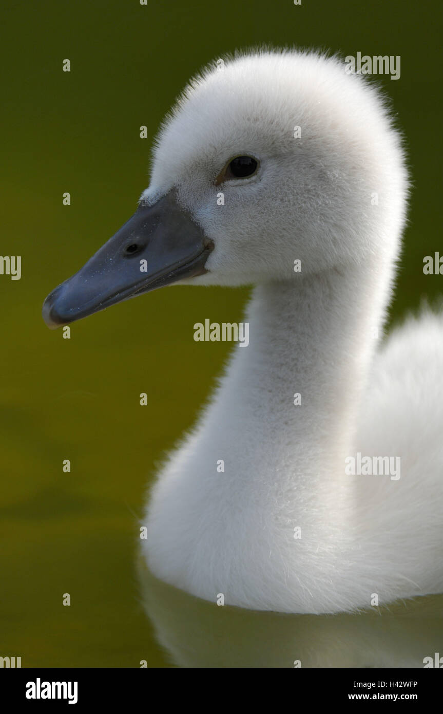 Hump swan, Cygnus olor, chicks, Stock Photo