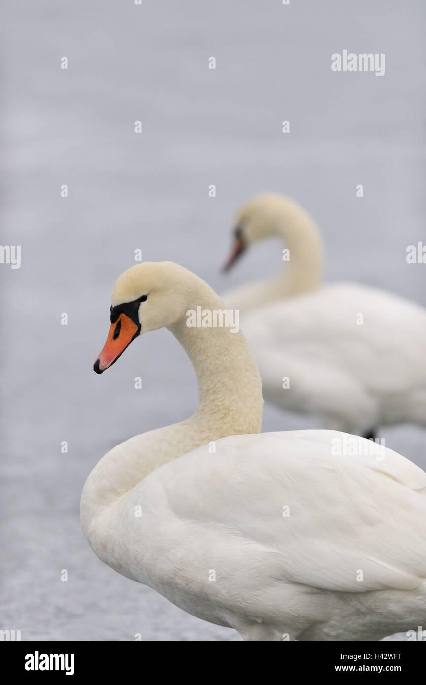 Hump swan, Cygnus olor, - Stock Image