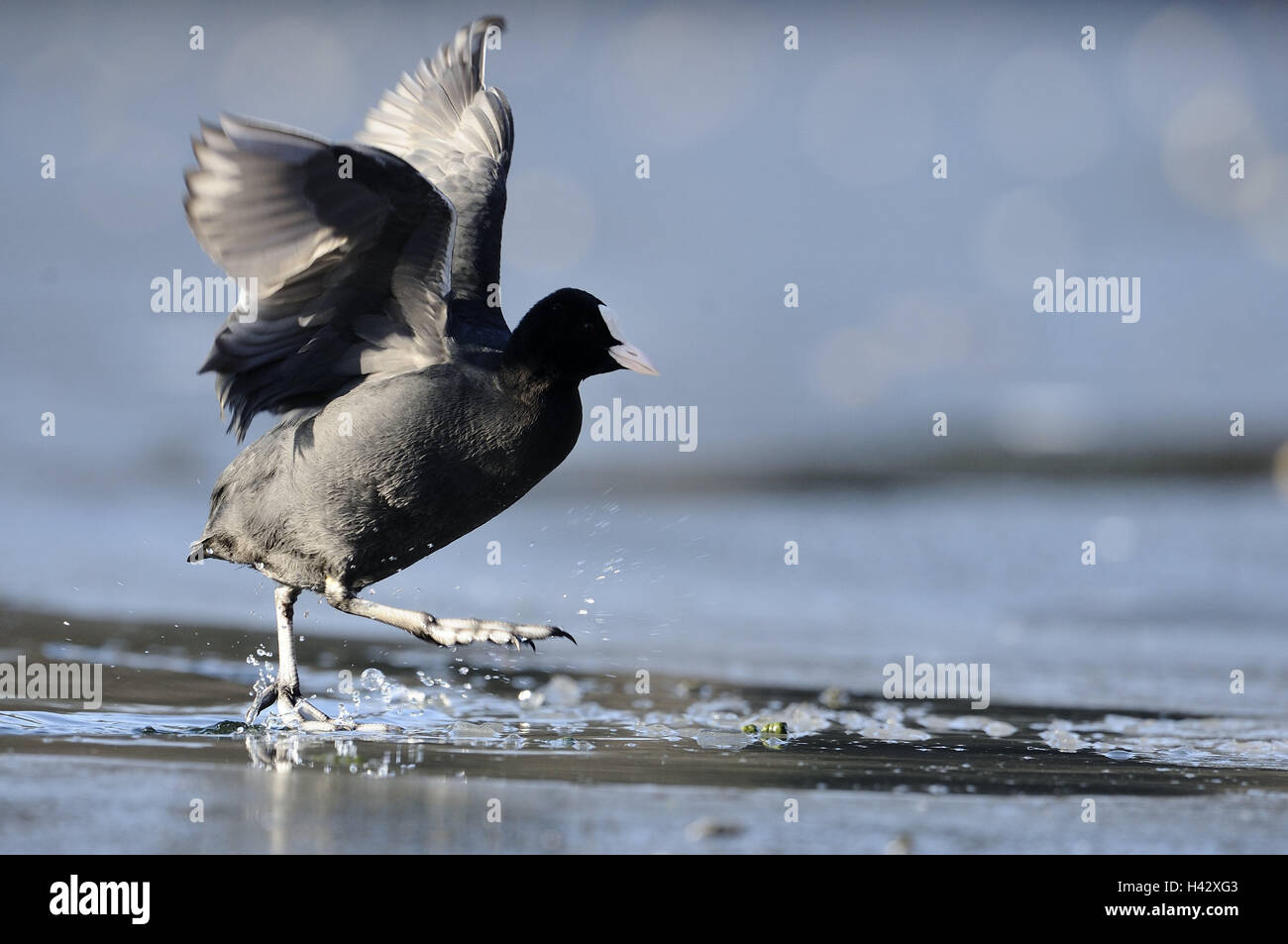 Coot, Fulica atra, water, shallowly, wade, side view, nature, animal, bird, wing, flapping of wings, plumage, legs, - Stock Image