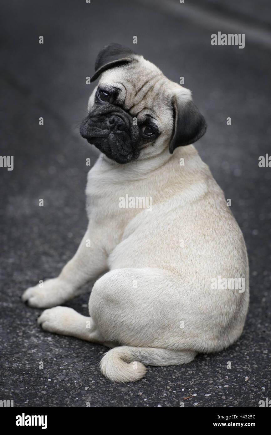Dog, pug, sit, outside, - Stock Image