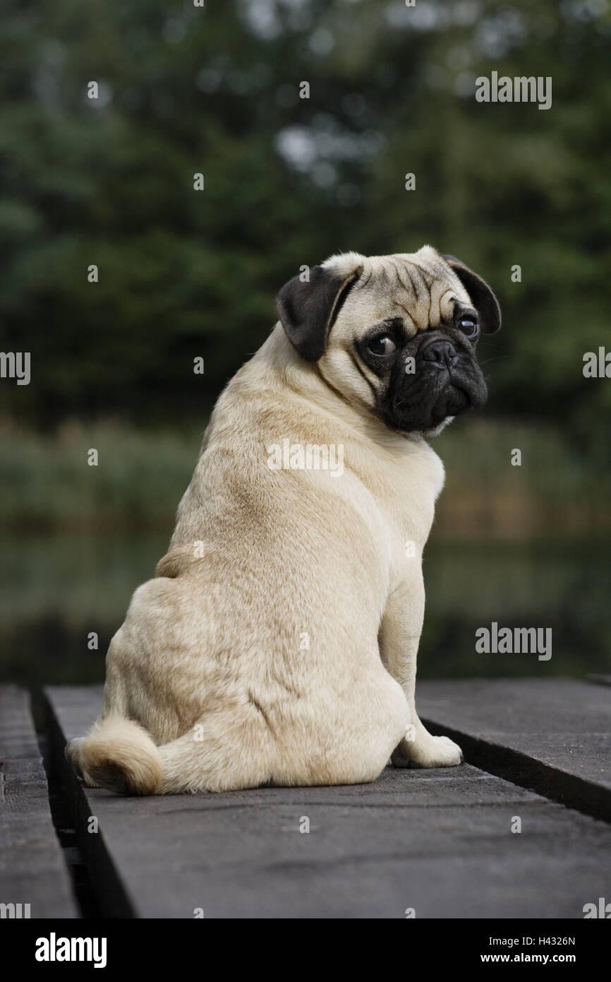 Dog, pug, sitting, look around, outside, - Stock Image