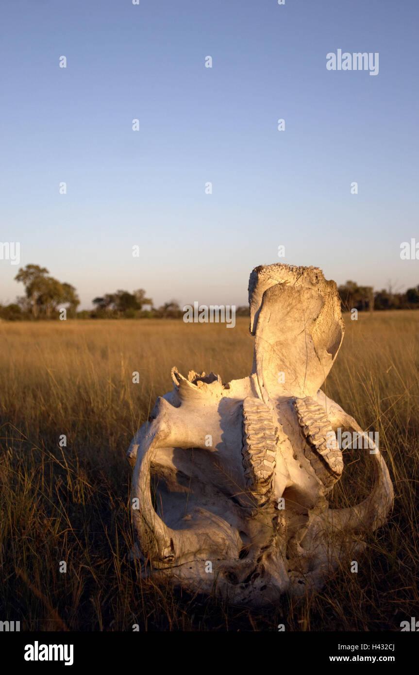 Botswana, Okavango delta, scenery, animal skeleton, the morning sun, Africa, nature, steppe, grass, skeleton, osseous - Stock Image