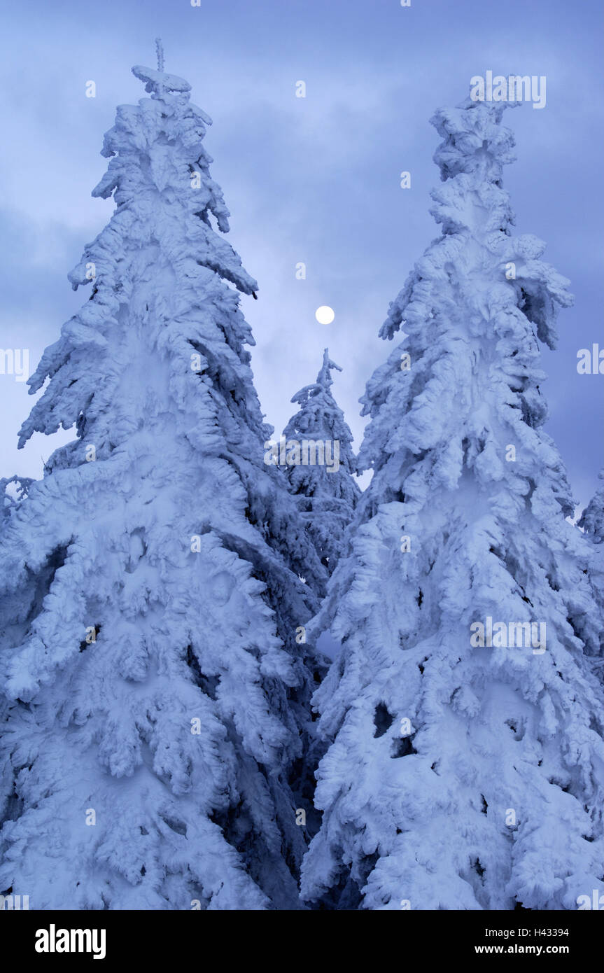 Winter forest, conifers, clouds, moon, - Stock Image