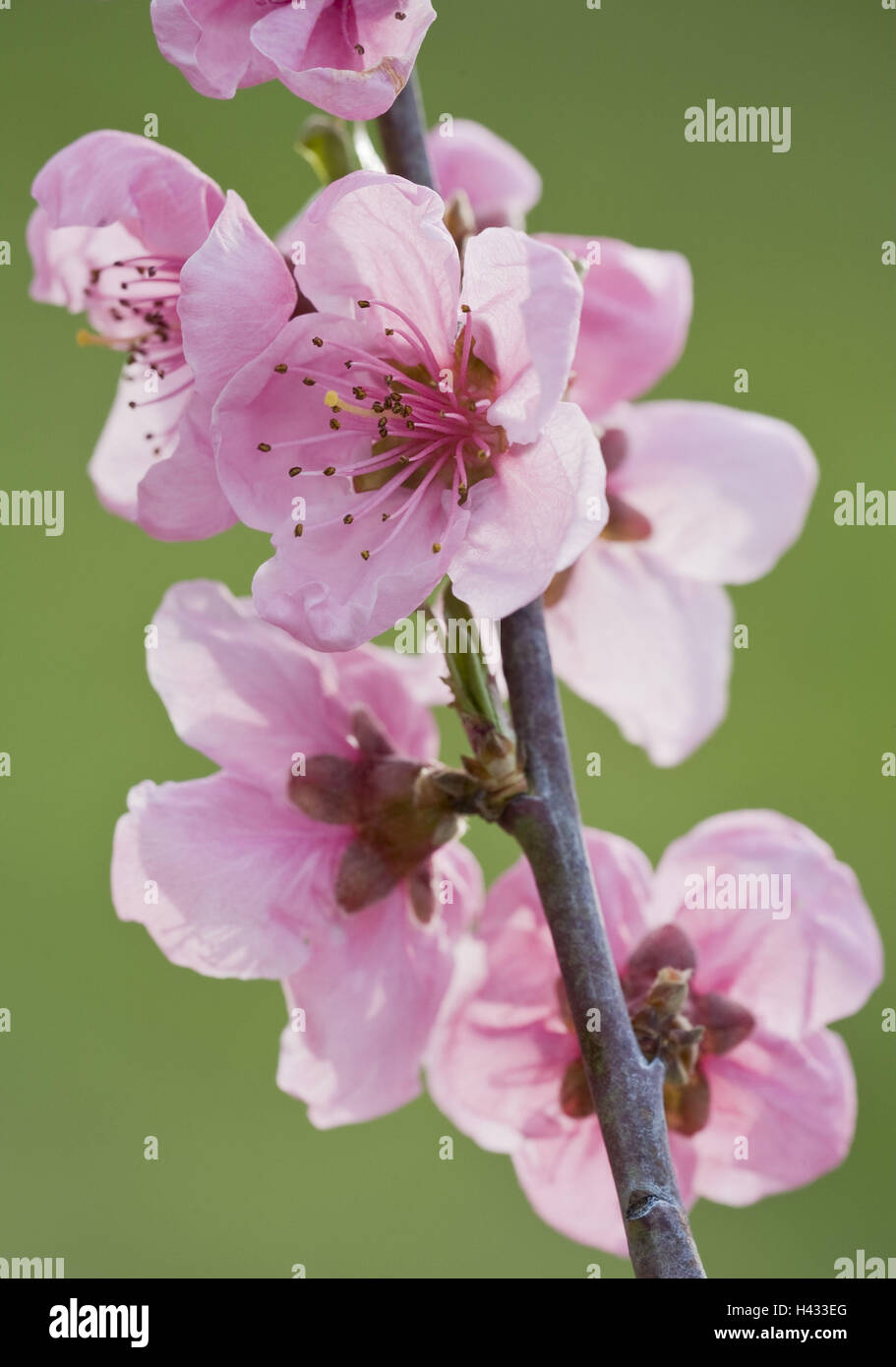 Apricot tree, blossoms, twig, - Stock Image