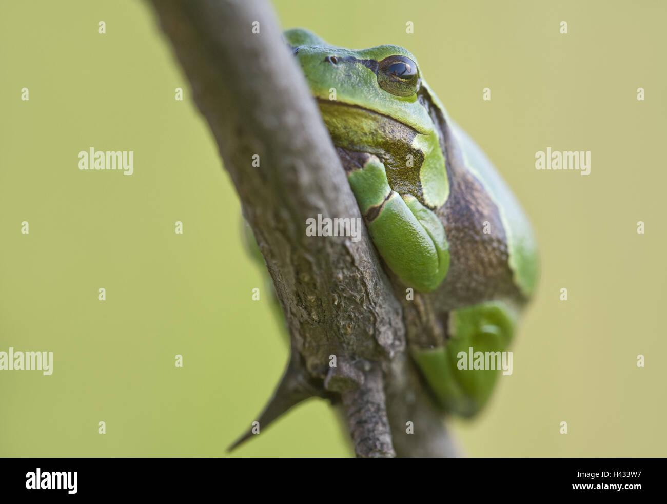 Frog, European tree frog, Hyla arborea, Stock Photo