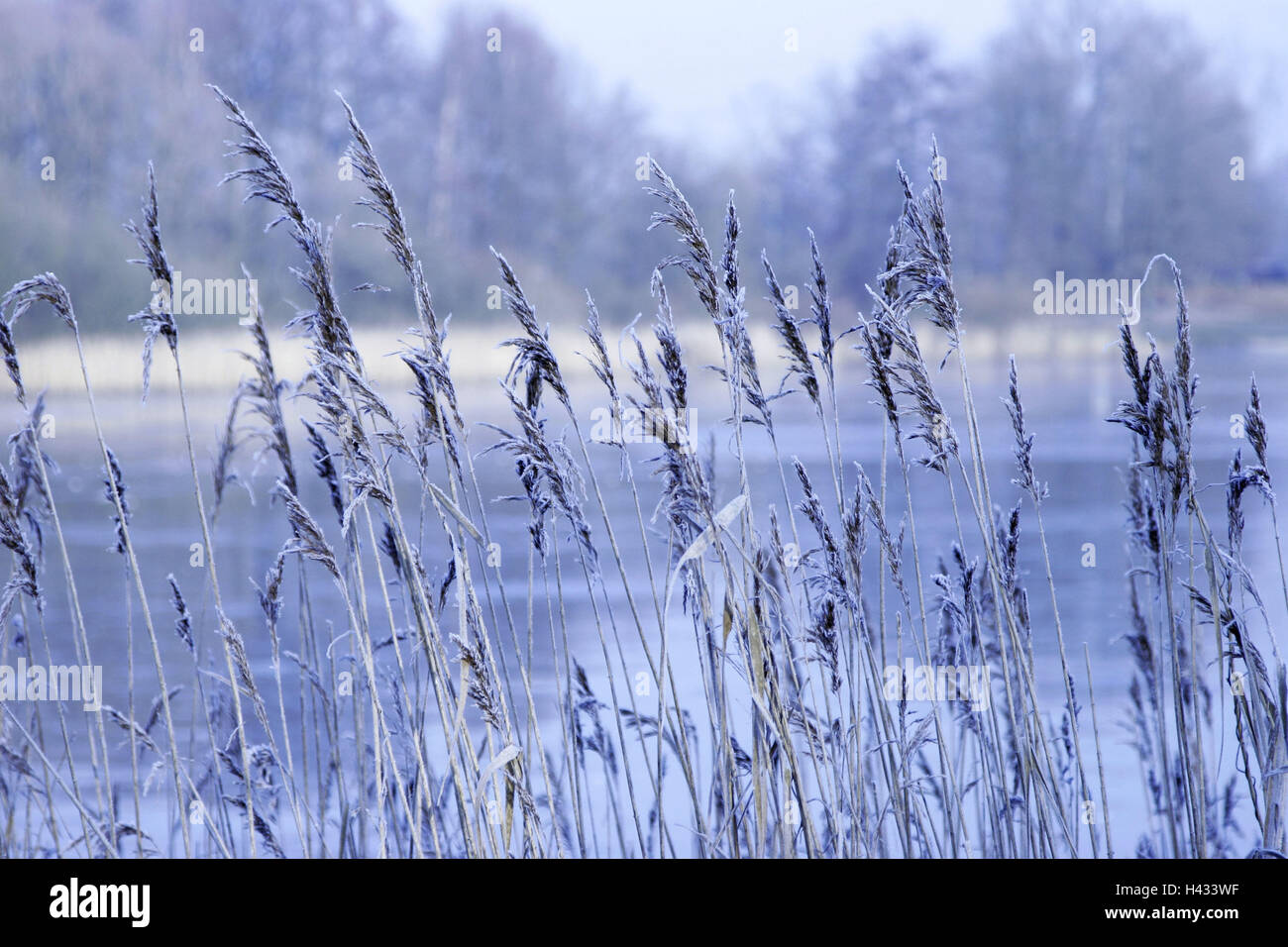 Reed grass, frost, detail, outside, grass, ice, hoarfrost, froze, lake, winter, shore, pond, grass, reed, cold, - Stock Image