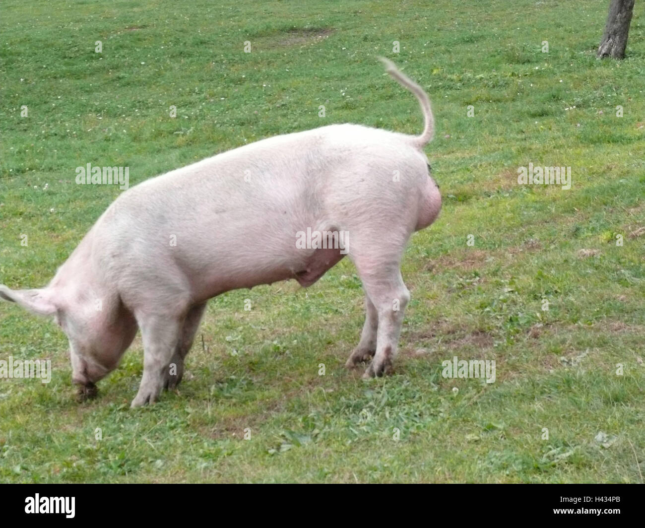 Pig, meadow, hillside, neutral-finishes, animal, mammal, usefulness-animal, house-pig, animal husbandry, cattle - Stock Image