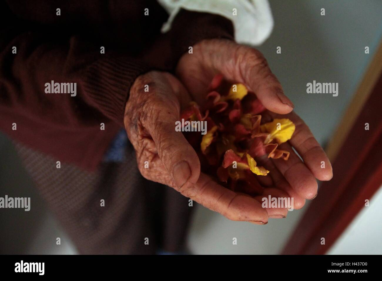 Flower on old woman hand. Stock Photo