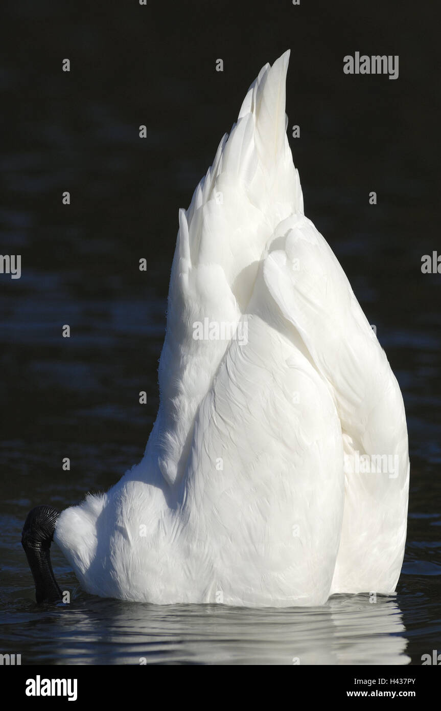 Lake, hump swan, Cygnus olor, skin-dive, lining search, water, swan, Gänsevogel, animal world, bird, water - Stock Image