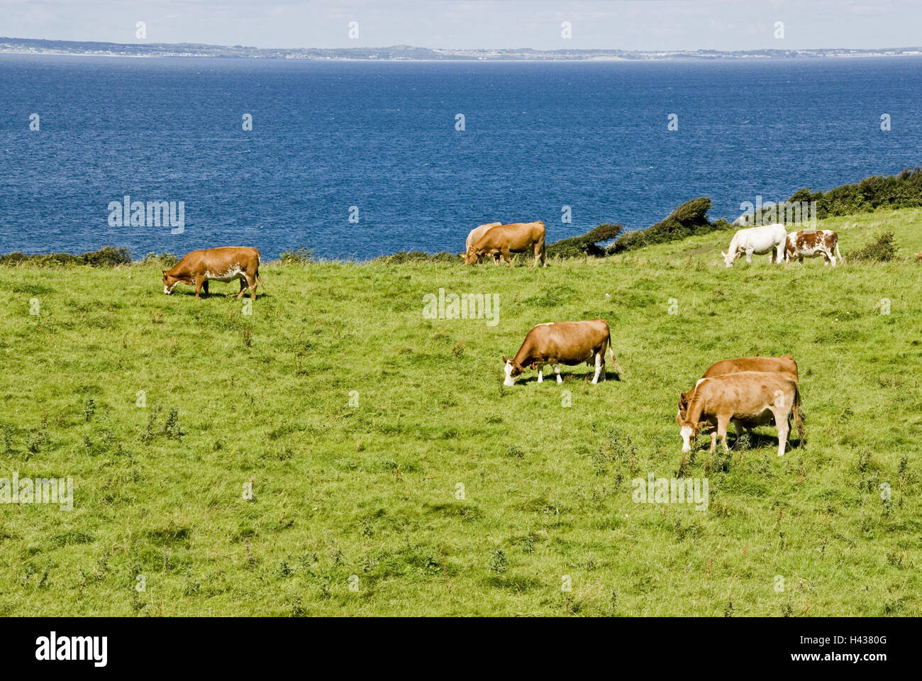 Ireland, Munster, Clare, Burren, pastures, cows, water, sea, coast, national park, nature reserve, pastureland, - Stock Image