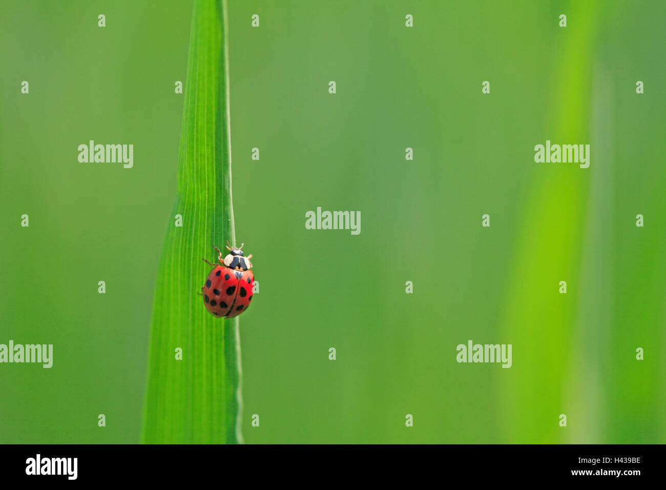 Blade of grass, ladybird, grass, leaves, stalk, green, animal, beetle, insect, red, dots, scored, luck bringer, - Stock Image