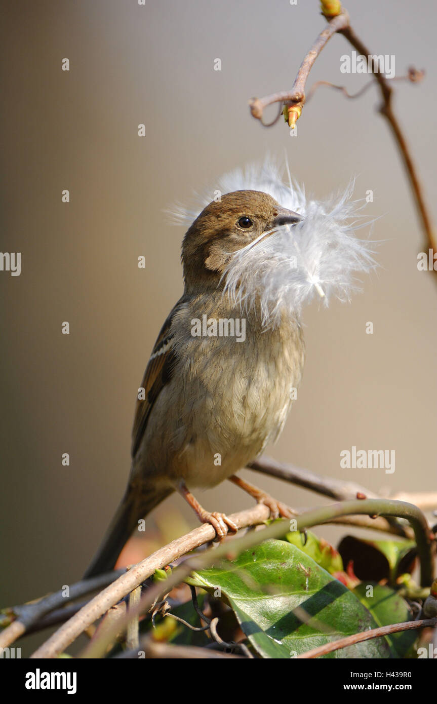 passerine bird, Passer domesticus, females, feather, - Stock Image