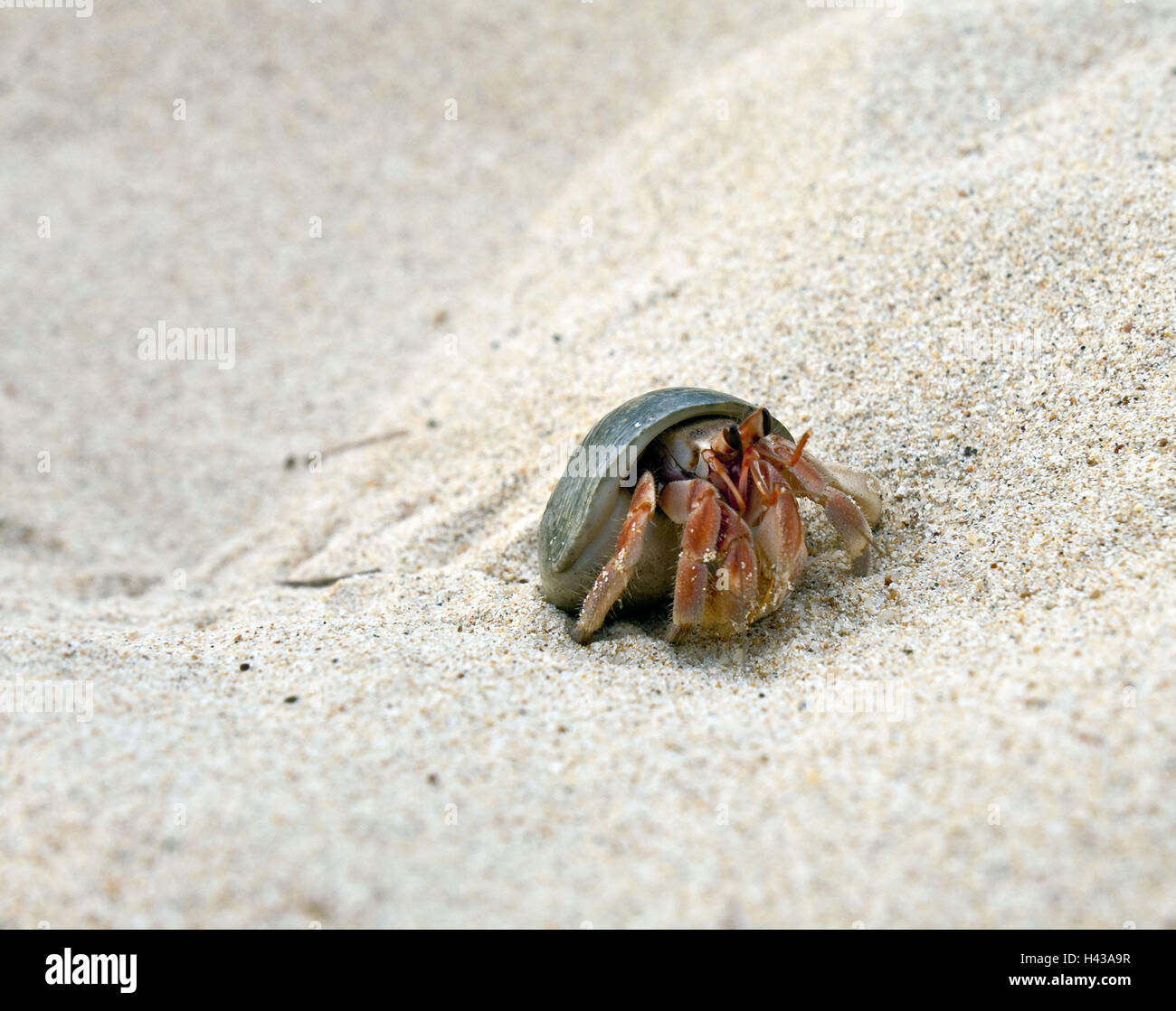 Beach, hermit crab, Asia, Thailand, outside, fauna, cancer, crustaceans, South-East Asia, animal, shellfish, beach, - Stock Image
