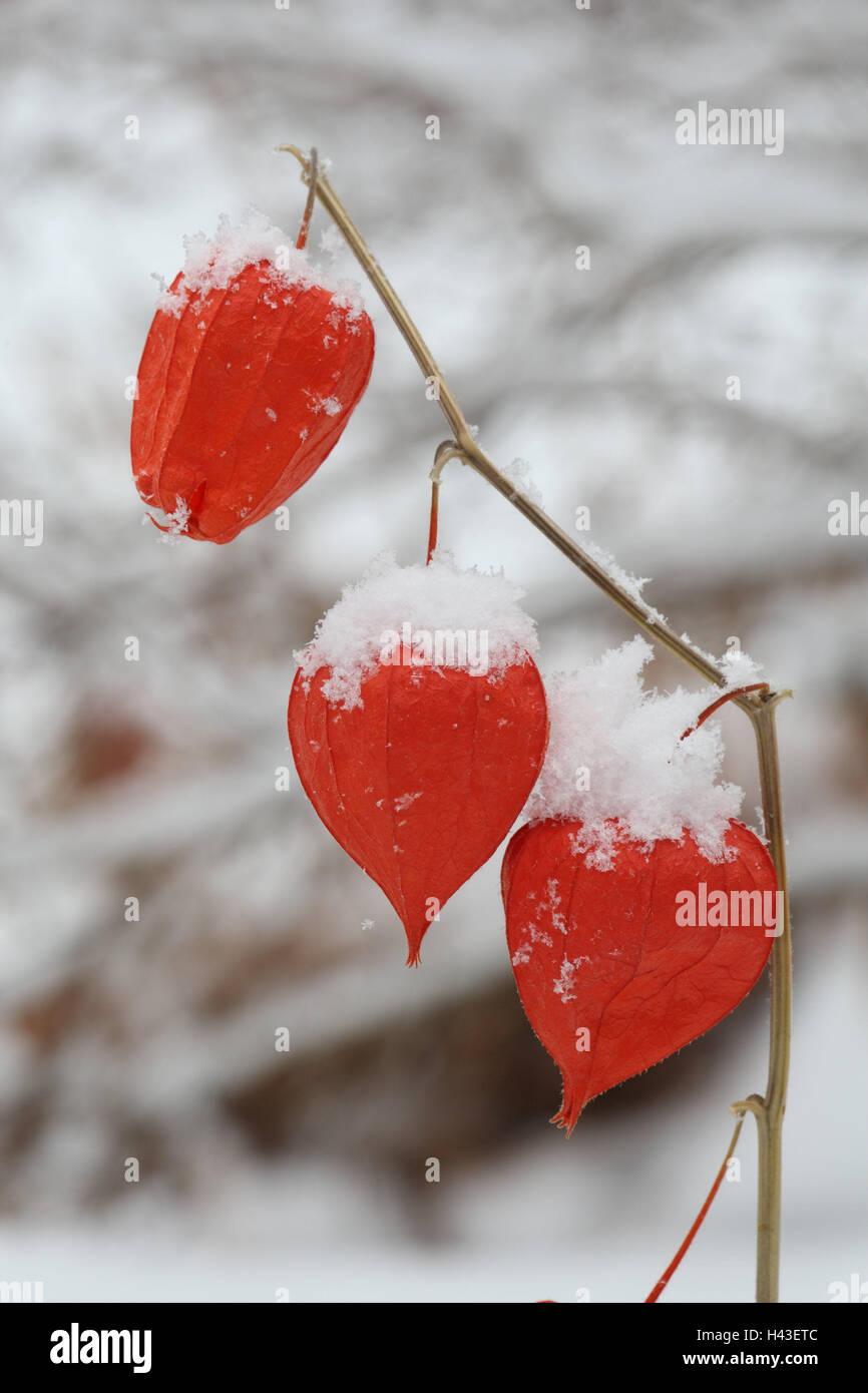 Lampion flower, calyxes, snow, flower, plant, blossoms, three, solanum, infructescence, winter, medium close-up, - Stock Image