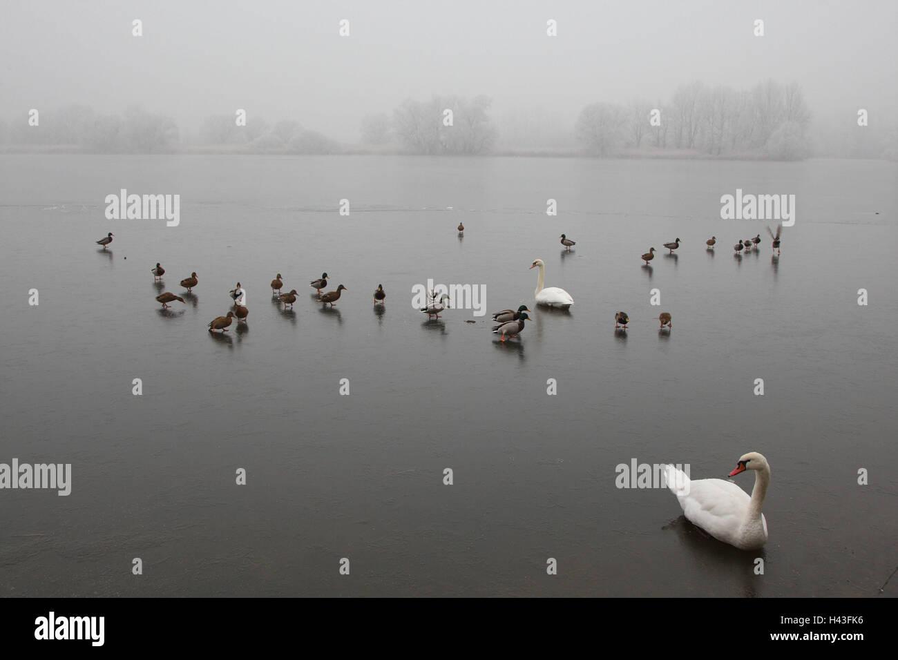 Hump swans, mallards, sheet ice, Europe, birds, swans, ducks, froze, Germany, wild animals, animals, river, water, - Stock Image