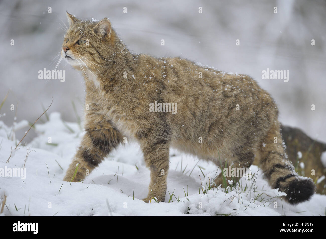 Central European wildcat, Felis silvestris, silvestris, winter, zoo, game park, animals, wild animals, mammals, - Stock Image