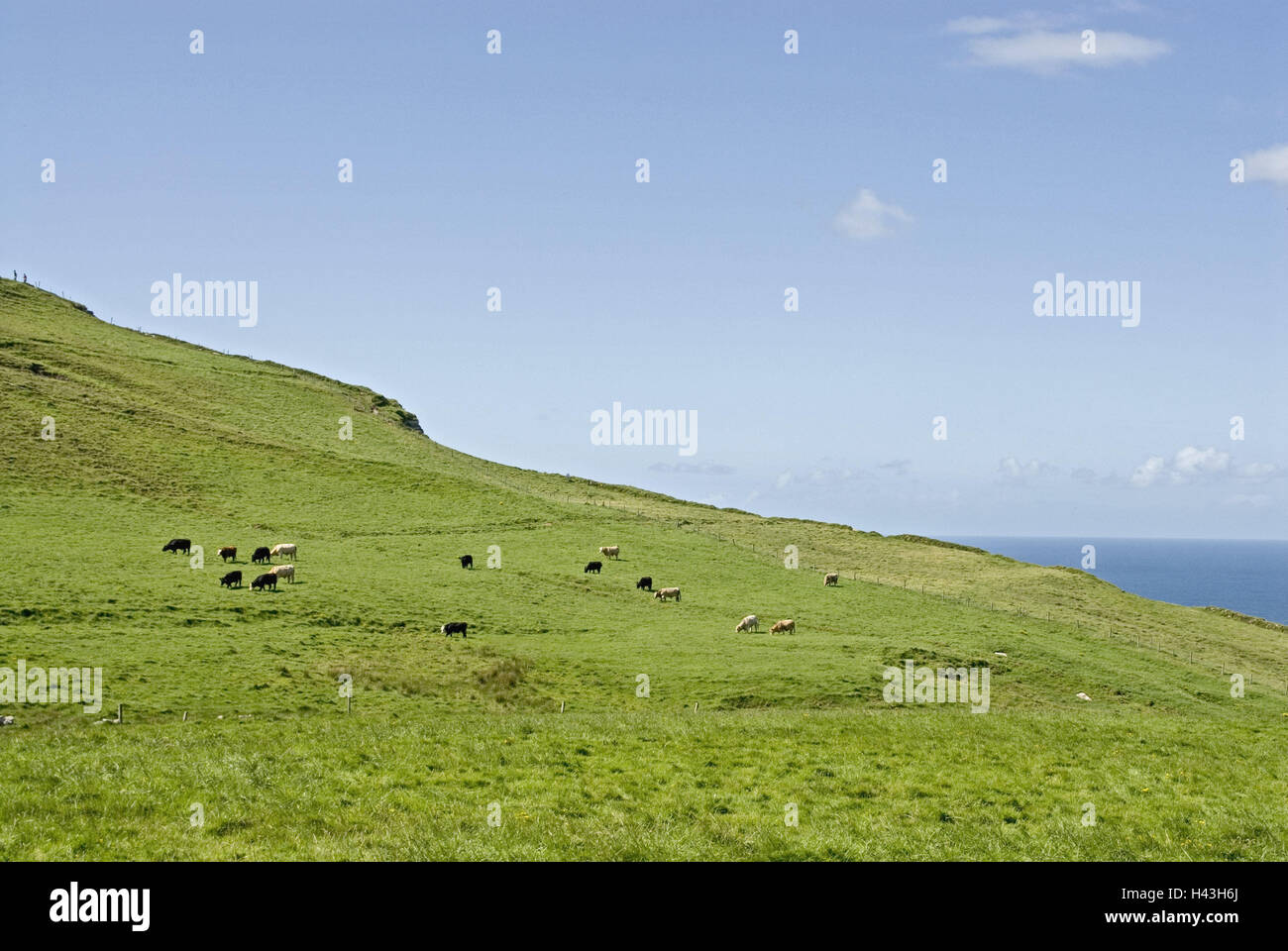 Ireland, Munster, Clare, Cliffs Moher, pastures, meadows, cows, scenery, sea, green, pastureland, animals, cow's - Stock Image