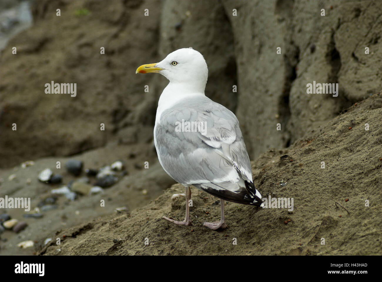 Silver gull, Larus argentatus, bird, bird's kind, the Baltic Sea, Germany, Darss, Ahrenshoop, Laridae, animal, - Stock Image