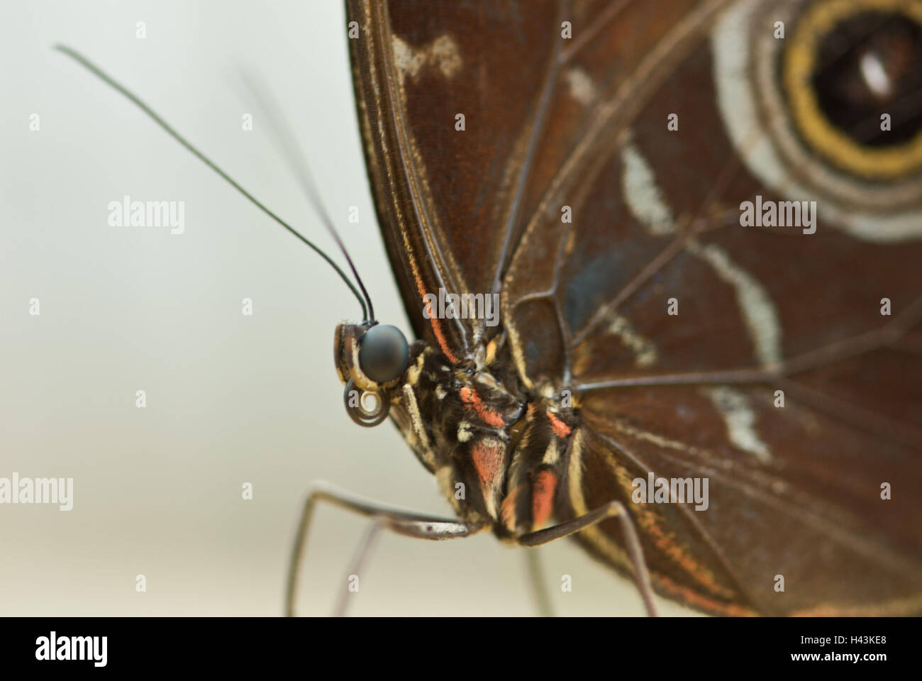 Butterfly, blue core eye, Minois dryas, detail, - Stock Image
