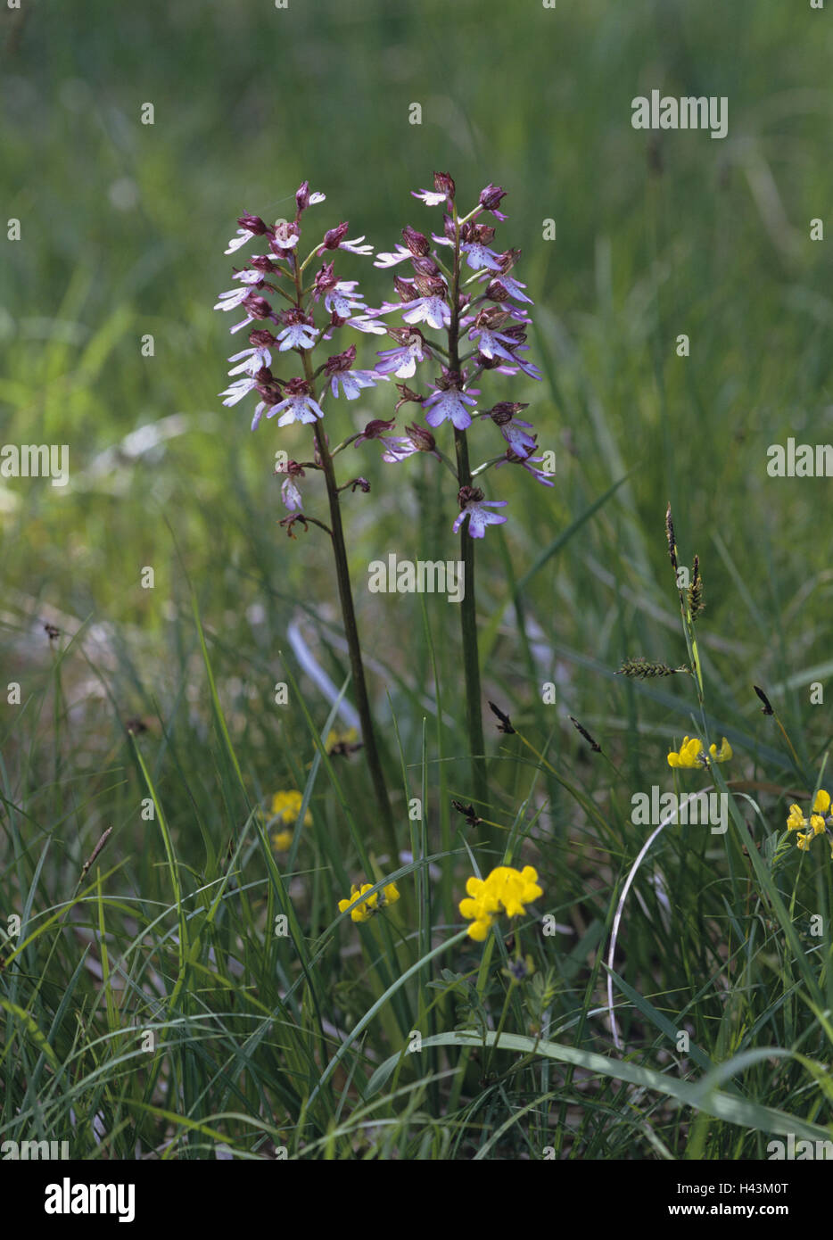 Meadow, magenta orchis, Orchis purpurea, detail, blossoms, plant, flower, orchid, orchis, blossom, period bloom, - Stock Image