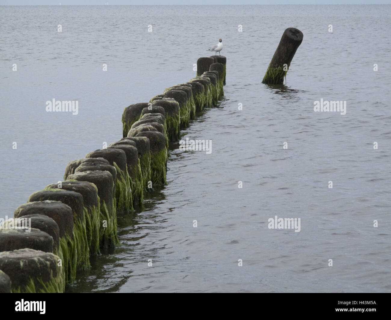 Breakwaters with sludge on the coast, gull, - Stock Image
