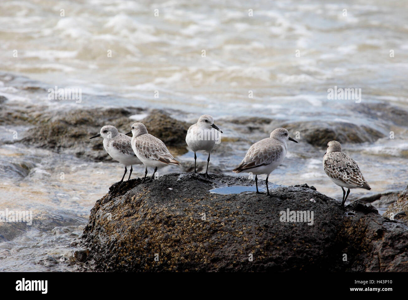 Sanderling, Crocethia alb, rock, sea, five, - Stock Image