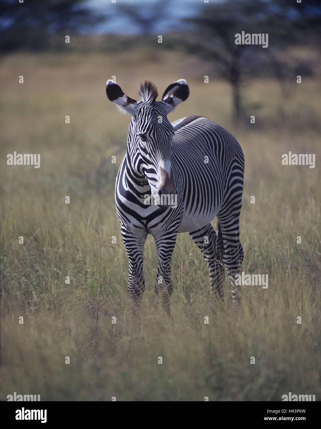 Steppe, Grevyzebra, Equus grevyi, watchfulness, Africa, Kenya, animal world, wilderness, Wildlife, animal, mammal, Stock Photo