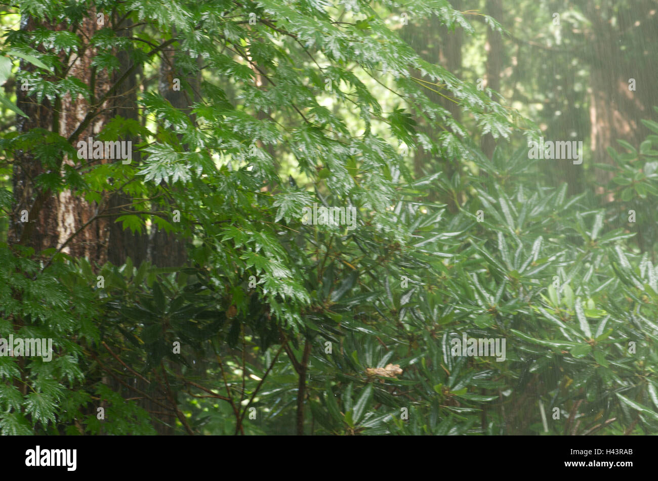 Wood, rhododendron, shower, plants, botany, rain, green, monsoon, rainfall, garden, nature, growth, nobody, - Stock Image