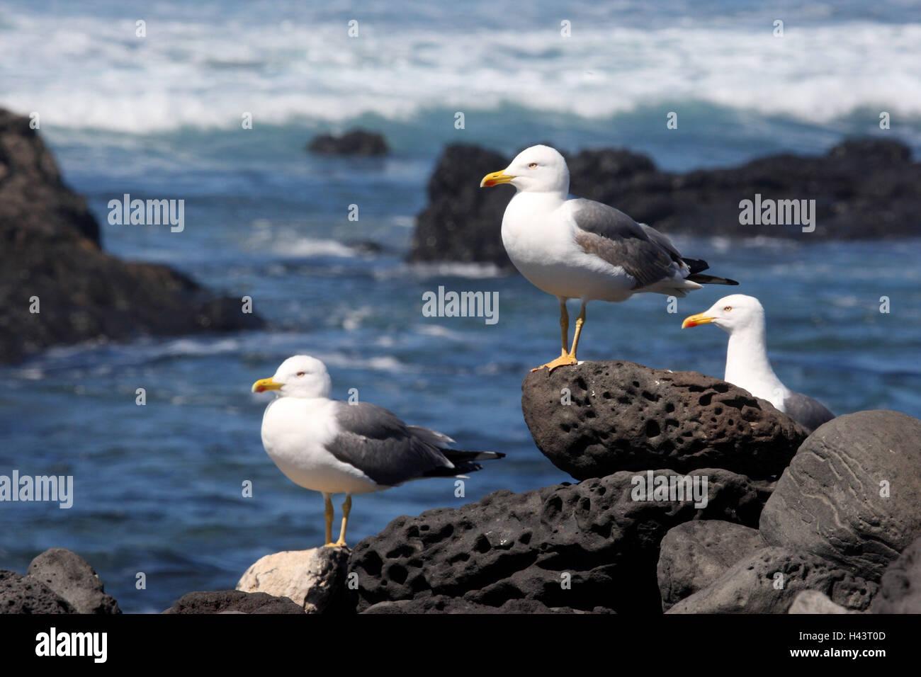 Spain, the Canaries, Lanzarote, coast, herring gulls, Larus fuscus, - Stock Image